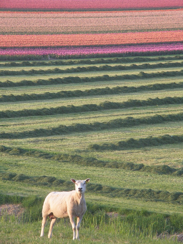 Sheep tulips spring netherlands